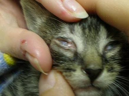 אל תיגע בעין החתול או בנקודה האדומה מכיוון שהוא עלול להפיץ חיידקים אליך מהחתול או מהחתול אליך