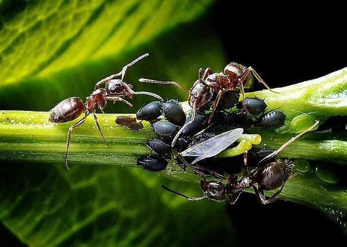 כל דבש חשוף ימשוך נמלים כל כך תנקו אחרי שתסיימו לבשל או להכין אוכל