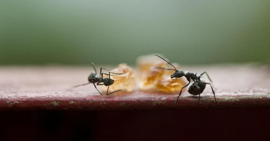 אתה יכול להפנות נמלים ממקור הדבש העיקרי שלך על ידי הנחת צלחת קטנה של כף דבש או מי סוכר מחוץ לבית שלך