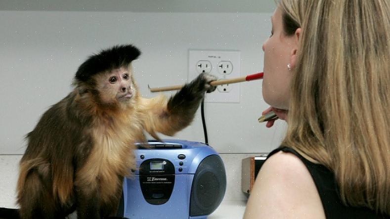 מעמד חברתי קיים בתוך קופי הקפוצ'ין ומשפיע על התפקוד היומיומי של האופן שבו הקופים מתקשרים יחד
