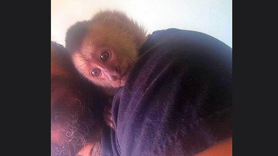 קופי קפוצ'ין מפגינים יכולת הסתגלות מדהימה