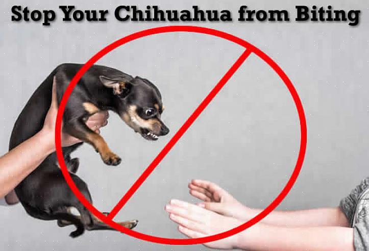 אולי לא תרצה לתת לצ'יוואווה שלך צעצועי קטיפה