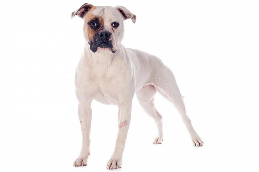 האכילו גור כלבי בולדוג אירופי במזון גורים איכותי המיוצר במיוחד לגורי כלבים גדולים