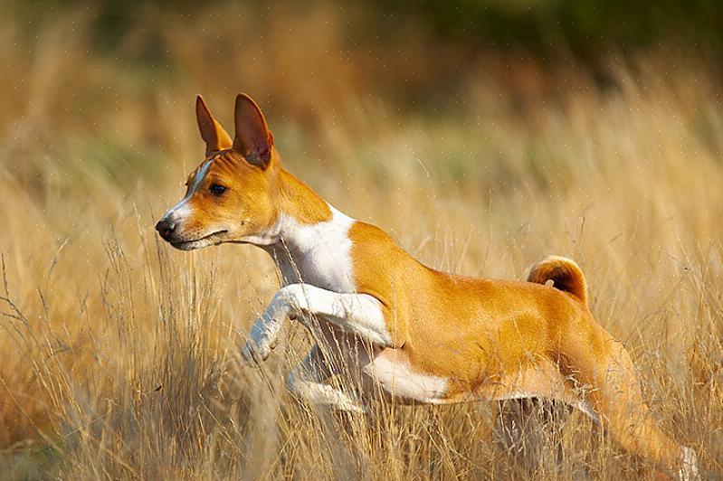 אם אתה מתקשה להחליט אם כלב הוא בסנג'י או לא