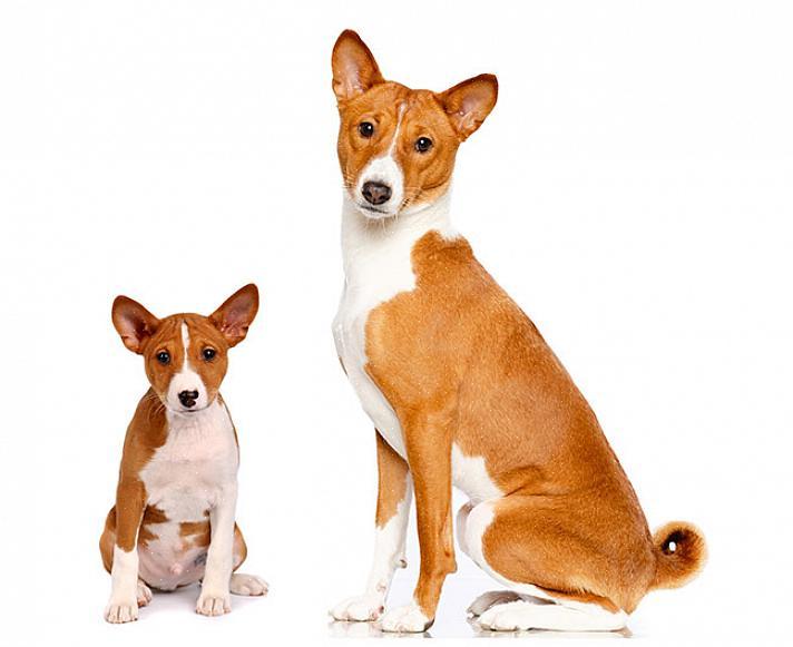 אחת הדרכים להיות בטוחים כי כלב הוא חלקי או כולו באסנג'י היא לבצע בדיקת DNA