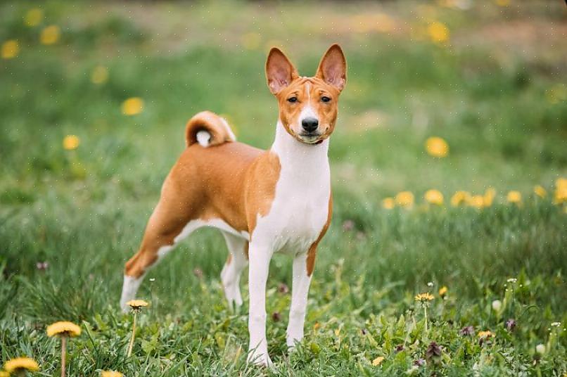 לזיהוי כלב בסנג'י