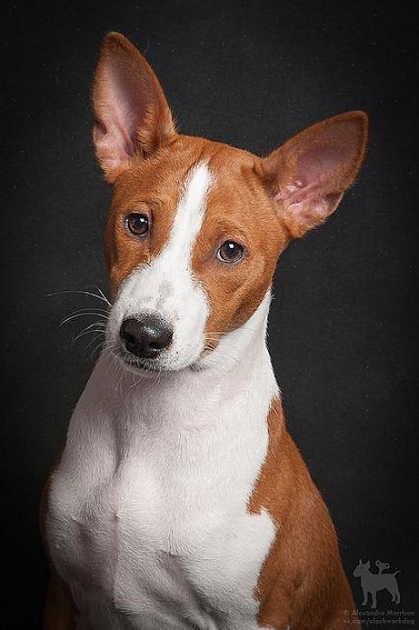 מרבית בעלי הבסנג'י מציינים כי התנהגותו של בסנג'י דומה יותר להתנהגות של חתולים מאשר לכלב טיפוסי